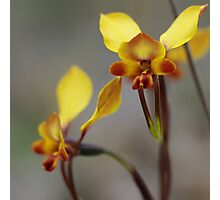 Donkey Orchids  Photographic Print