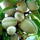 Almonds / Mandorle by Vittorio Magaletti