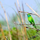 Green Bee Eater bird by srijanrc