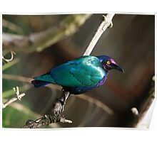 Purple Glossy Starling Poster