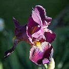Purple Iris by Forrest Tainio