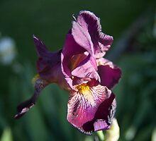 Purple Iris by Forrest Tainio