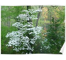 Orange tree behind my flowering dogwood, Greenbelt, Maryland Poster