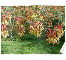 Red maple bearing fruits Poster