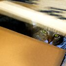 Cat in the box by amontanaview