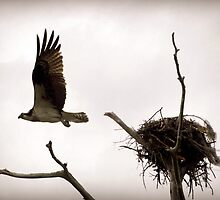 Osprey in Flight by Lea  Weikert