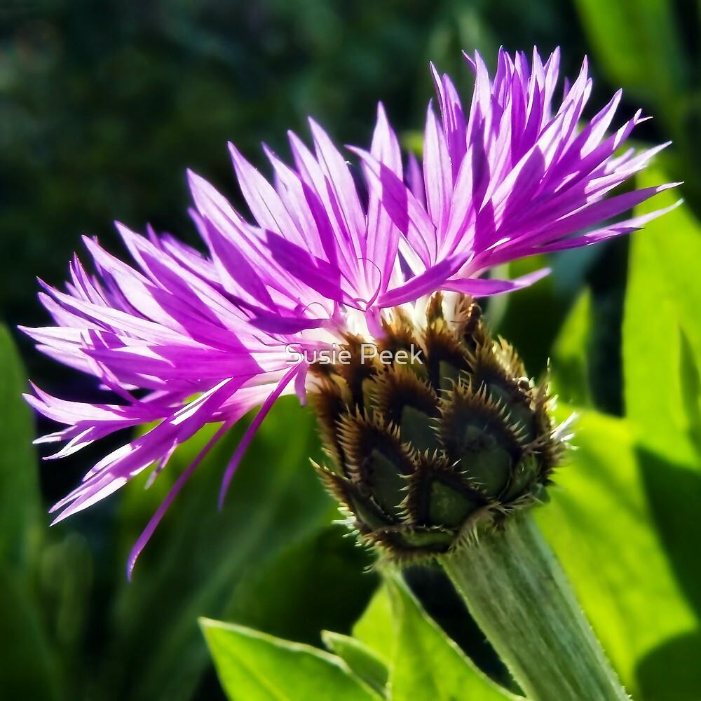 Purple Cornflower by Susie Peek