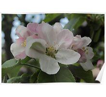 Big Blossoms - Big Apples? Poster