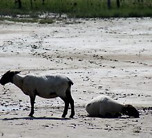 Sheep and Wadden Sea by Stefanie Köppler
