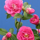 Pink Camellia  by AndrewWright50