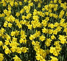 A Host of Golden Daffodils by AndrewWright50