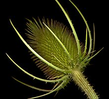 Teasel by TheWalkerTouch