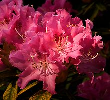 In the pink by moor2sea