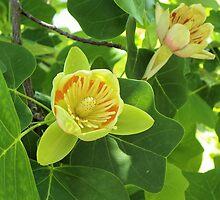 Tulip Poplar Tree by Bob Hardy