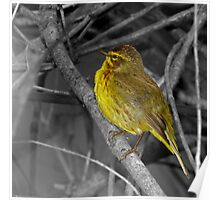 Palm Warbler on B&W Poster