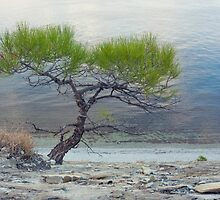Lone Pine on shore of sea by bawanch