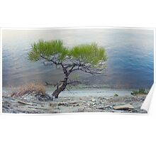 Lone Pine on shore of sea Poster