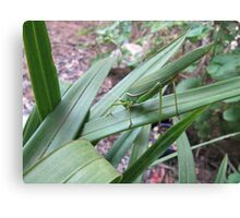 'WHERE'S WALLY!' Grass hopper on green leaves. Canvas Print