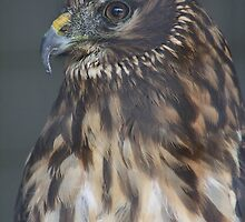 Northern Harrier by Alyce Taylor