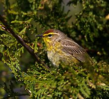 Palm Warbler by jamesmcdonald