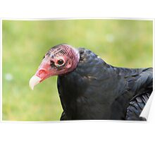 "Turkey Vulture - ""Snoopy"" Poster"