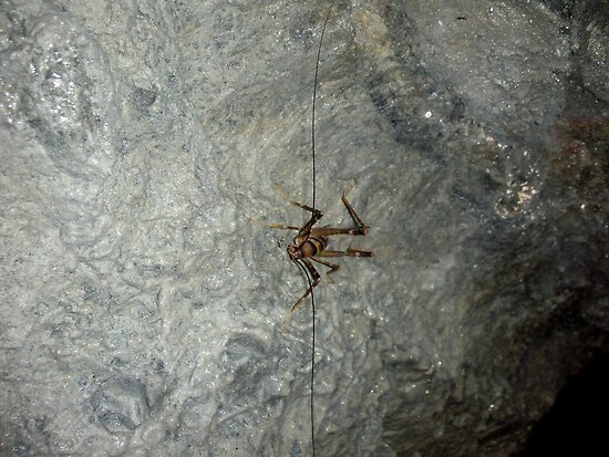 Cave Weta by jezkemp