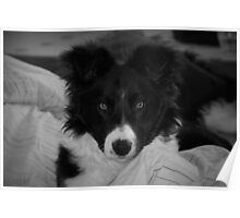 Border collie in black and white Poster