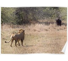 Lion Meets Buffalo Poster