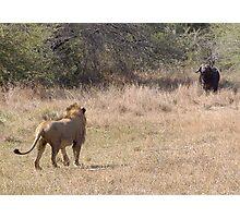 Lion Meets Buffalo Photographic Print