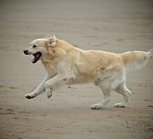 Golden retriever joyfully running alongs the sands by James1980