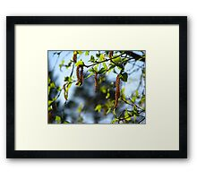 Birch Tree Catkins Framed Print