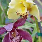 Double Delight; Cymbidium Orchids; Patricia Merz Greenhouse/Gardens Gr. Hills, CA USA by leih2008