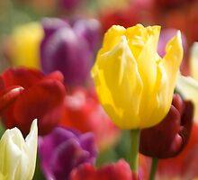 Tulips in the sun by Kelly-Shane Fuller
