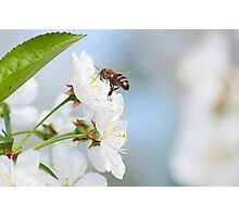 Flying Bee and cherry blossom Photographic Print