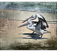 pelican crossing Photographic Print