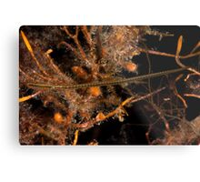 Wide Bodied Pipefish Metal Print