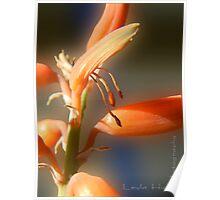 Aloe Vera Blooms Poster