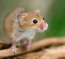 Happy Harvest Mouse by Krys Bailey