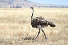 Female Ostrich,  Serengeti, Tanzania  by Carole-Anne