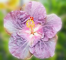 Mauve Hibiscus by Julia Harwood