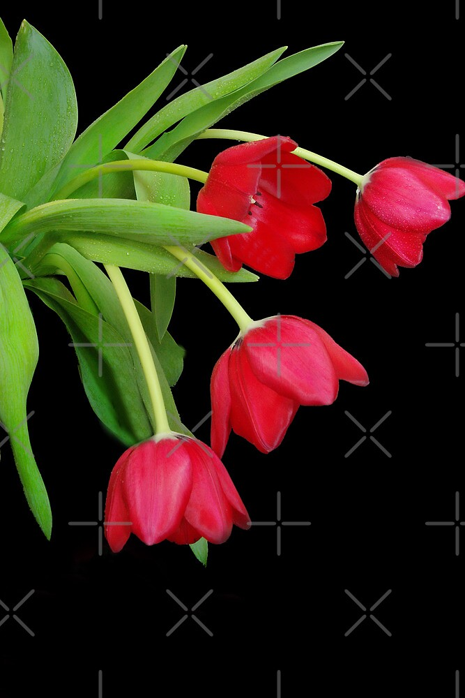 Tulips by Catherine Hamilton-Veal  ©