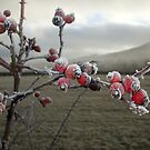 Frosty Rosehips - Foggy Morning by Babz Runcie