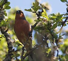 Chaffinch by Country  Pursuits