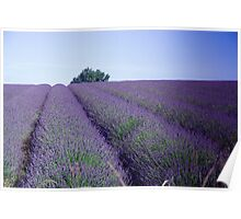 Lavender Fields Snows hill Cotswolds Poster