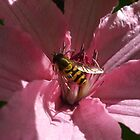 Bee on Pink Clematis by Babz Runcie