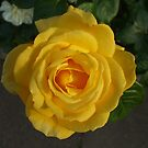 Yellow Rose in the Setting Sun by Babz Runcie