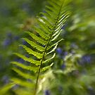 Fern, Yoxall Wood by Matthew Walters