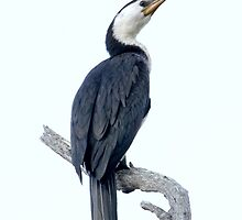 The Cormorant by Rick Playle