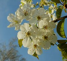 Cherry blossom by Themis
