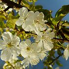 There will be lots of cherries this Summer by Themis
